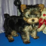 Once upon a time in 1944 a tiny yorkie named Smoky won WWII
